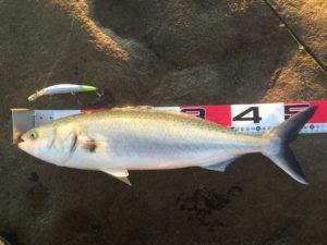 オーストラリアンサーモン (英:Australian Salmon)